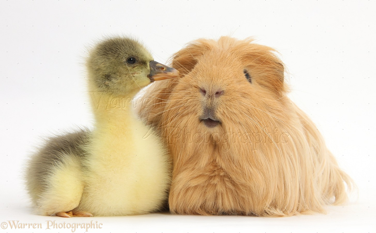 Excellent phrase hairy guinea pig photo