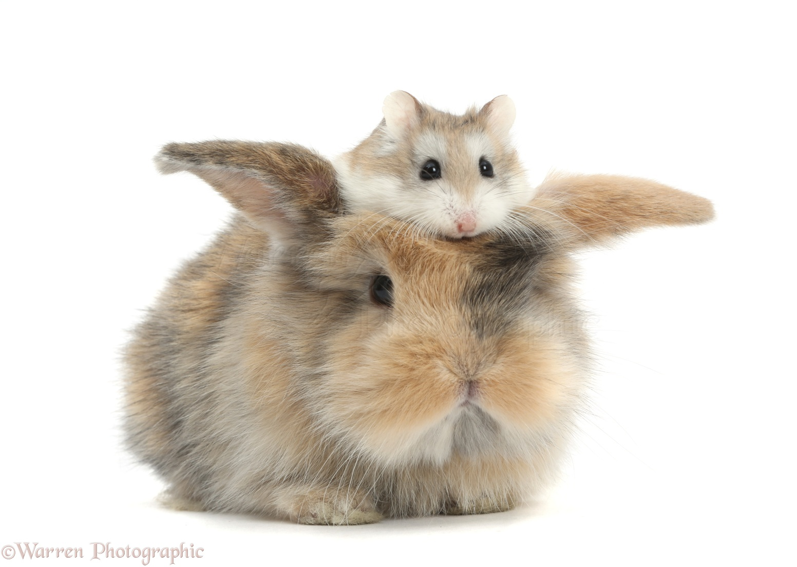 Cute Pets Pictures, Bunny and Roborovski Hamster photo ... - photo#41