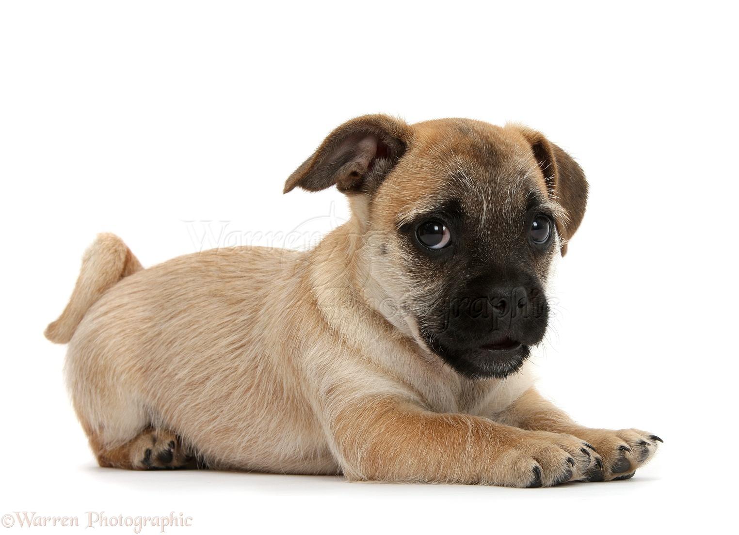 pics photos   jug dog jack russell pug cross a pug with a nose