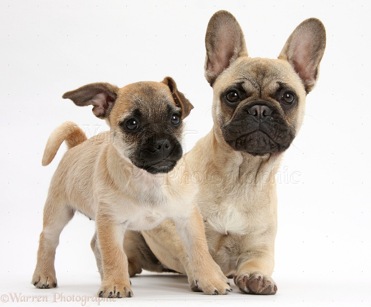 Jug Puppy Pug X Jack Russell And French Bulldog Photo Wp40114