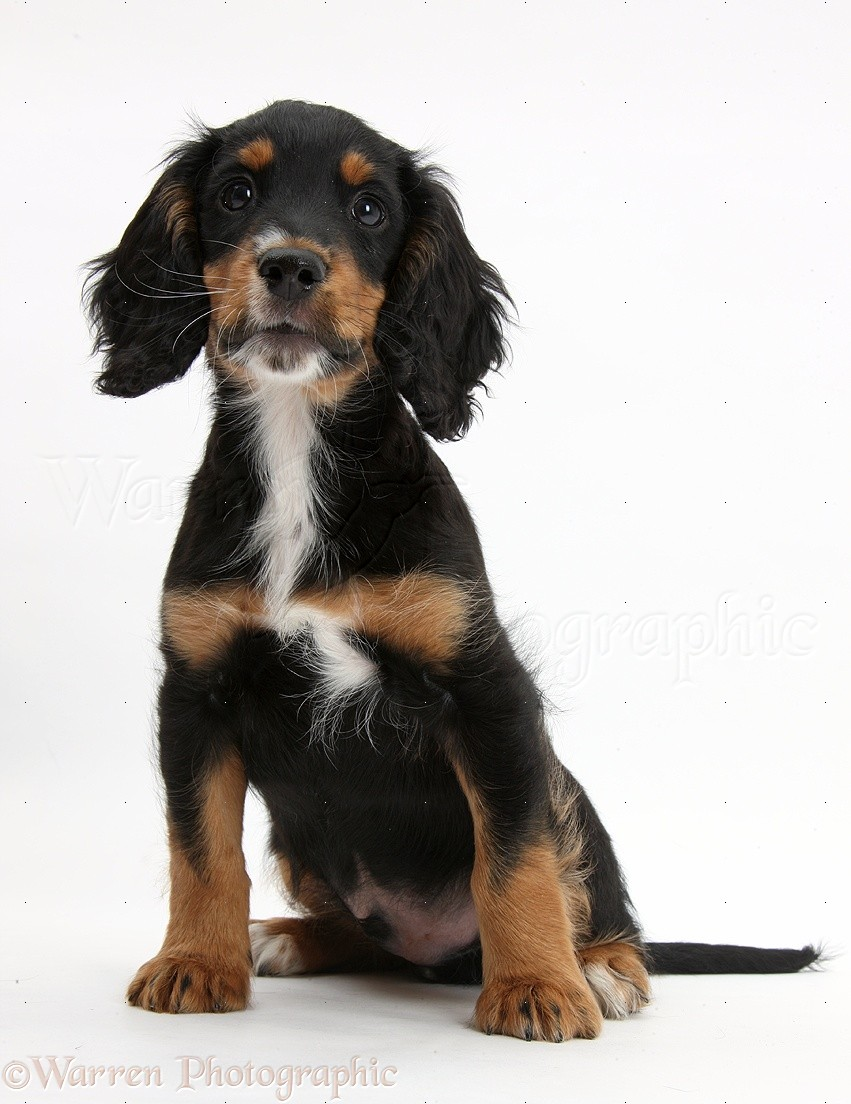 Dog Tricolour Working Cocker Spaniel Puppy 9 Weeks Old Photo Wp40122