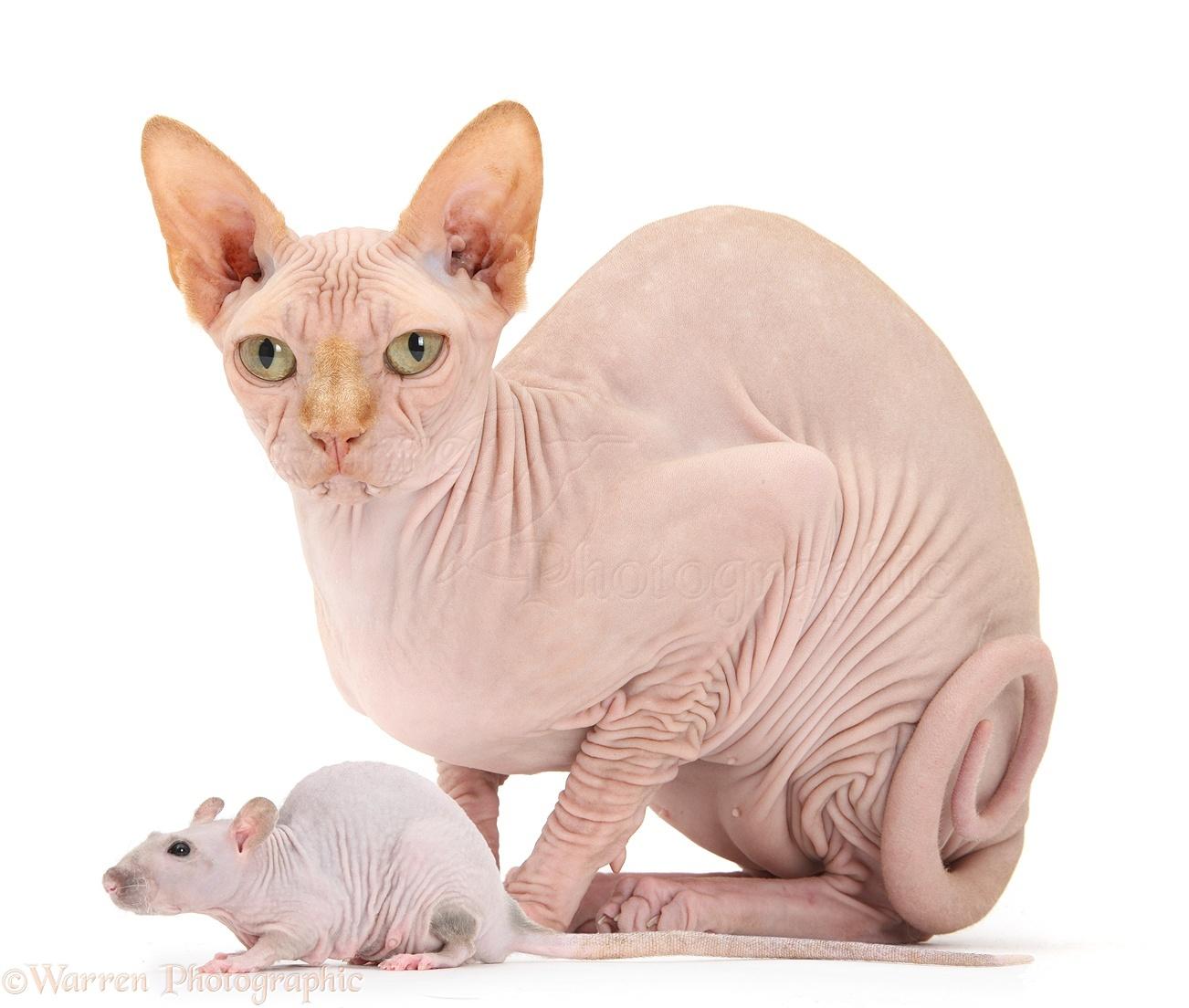 Cats And Pet Rats