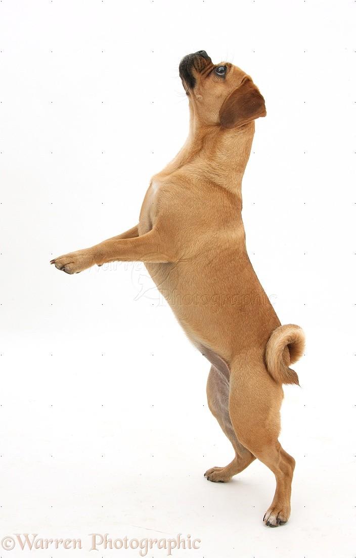 dog puggle jumping photo   wp40173