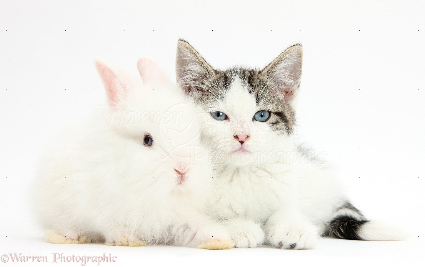 White Baby Kittens With Blue Eyes Pets: Blue-eyed...
