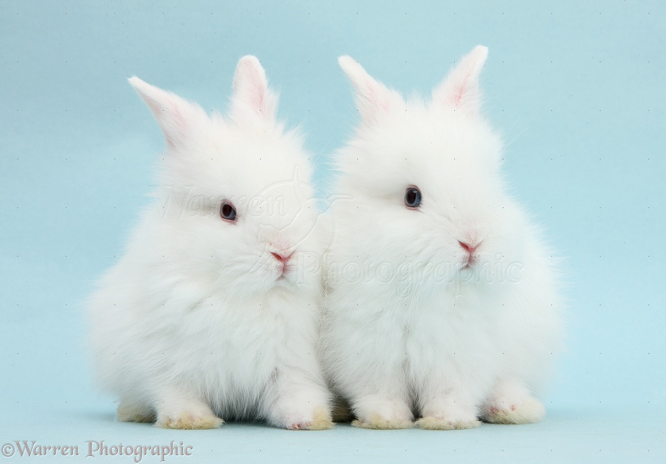 Two cute blue-eyed white baby bunnies photo WP40218 - photo#20