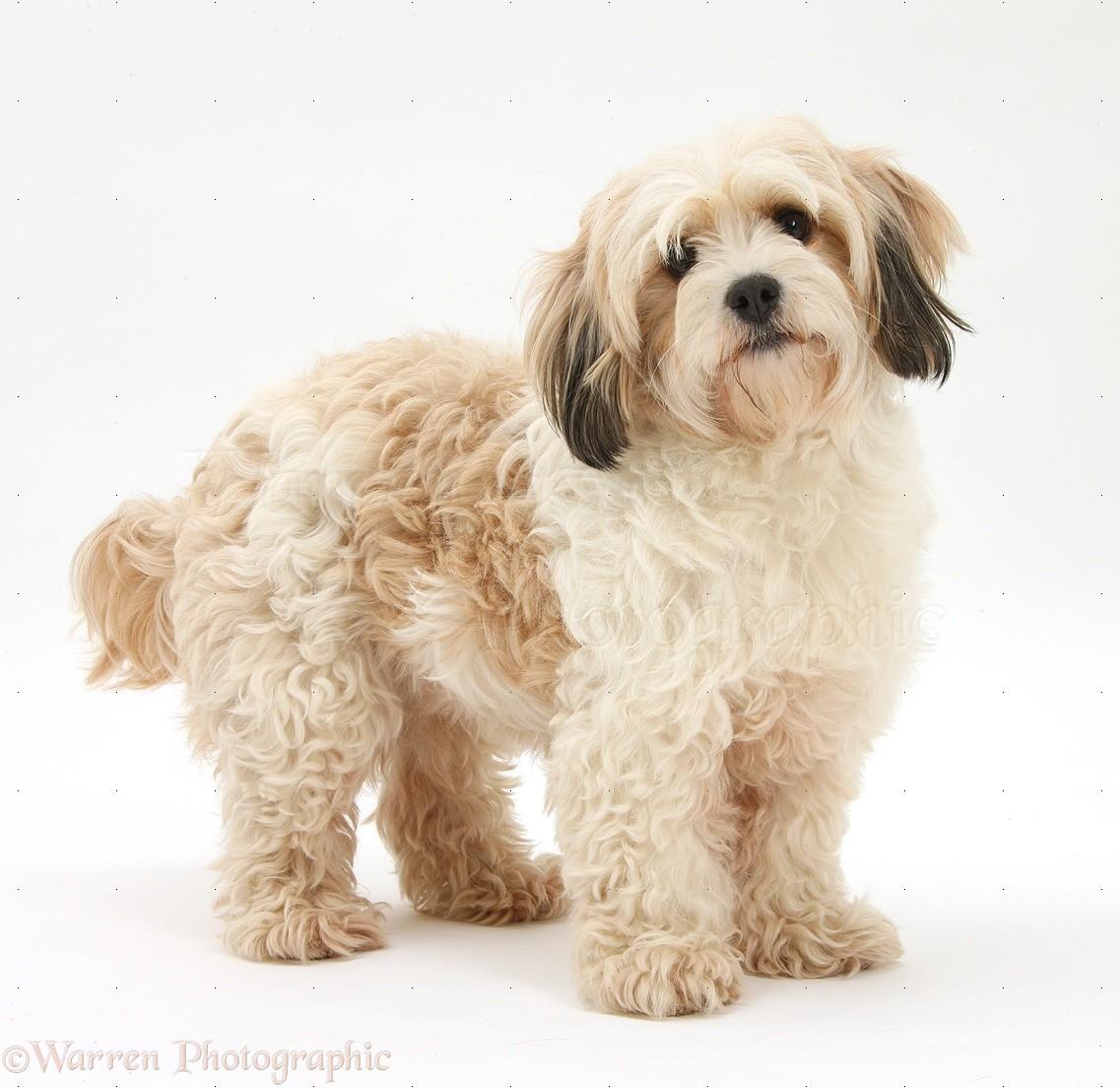 Cavachon Dog Puppy