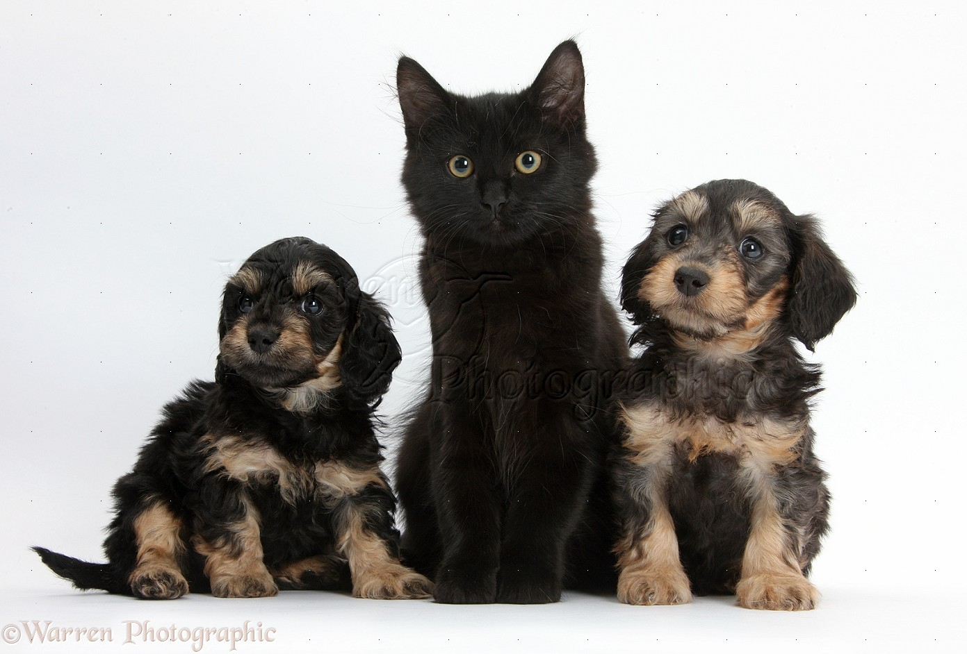 Pets Black Maine Coon Kitten And Cute Daxiedoodle Puppies Photo Wp40306