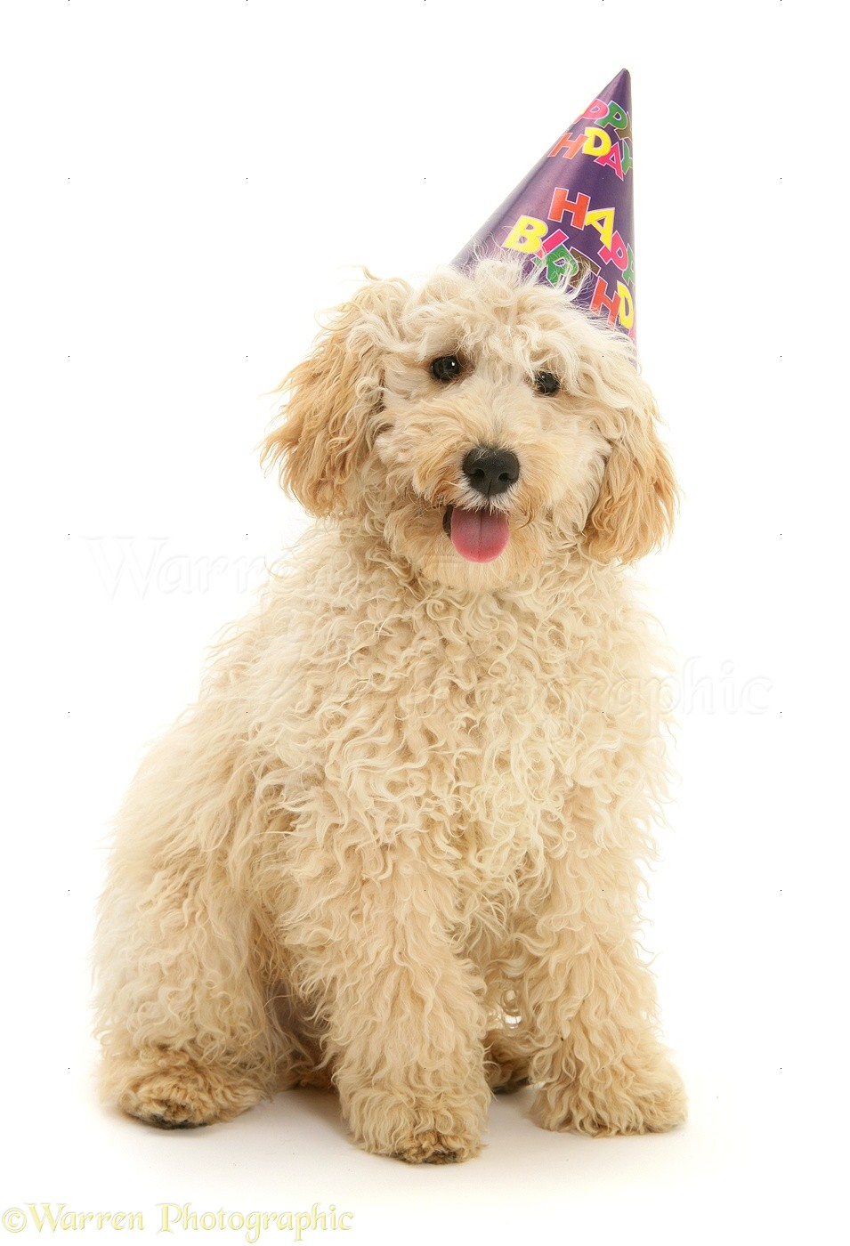 WP40420 Cream Miniature Poodle Rodney Wearing A Birthday Party Hat
