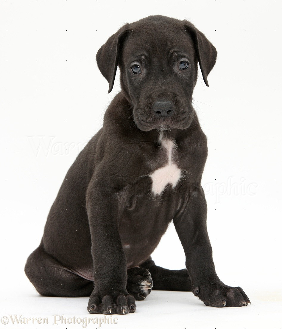 Dog Black Great Dane Puppy Sitting Photo Wp40426