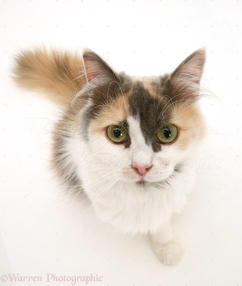 Persian-cros... White Persian Kitten