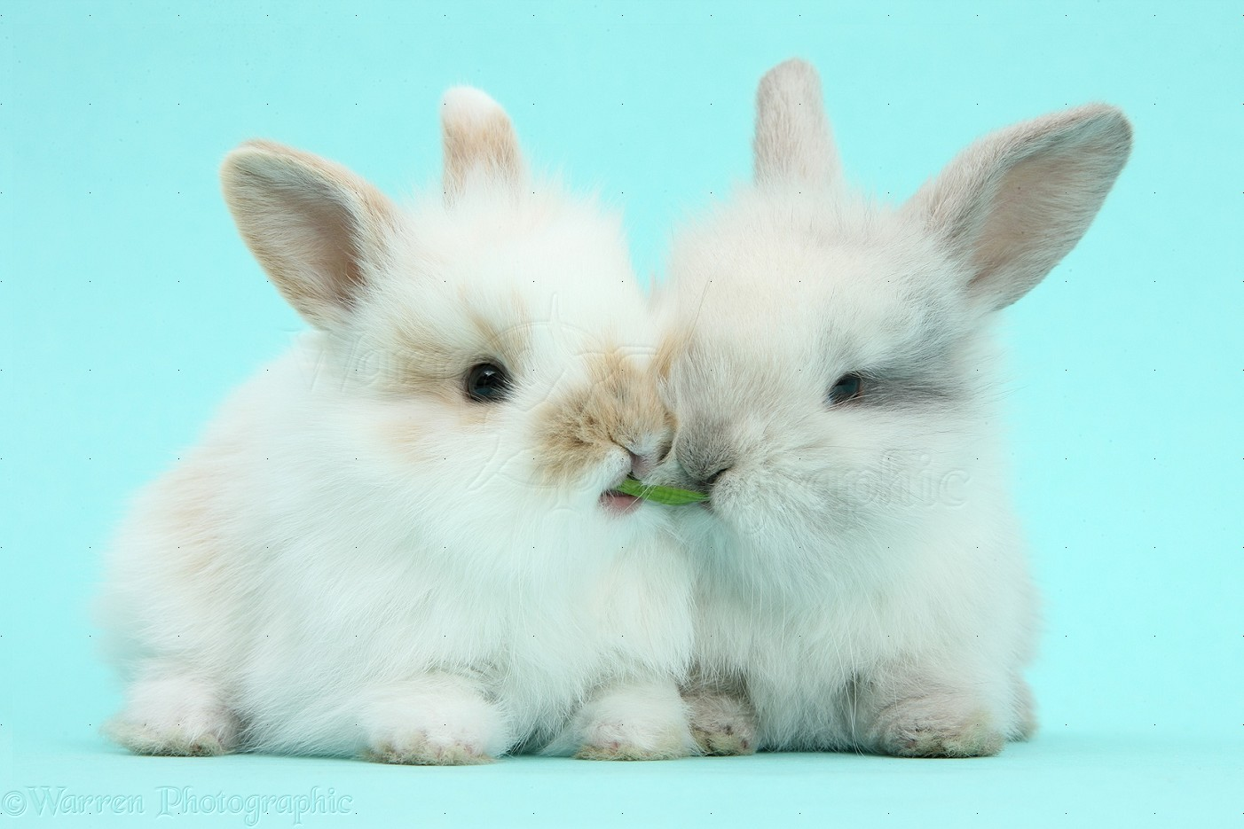 cute baby bunnies on blue background photo wp40457