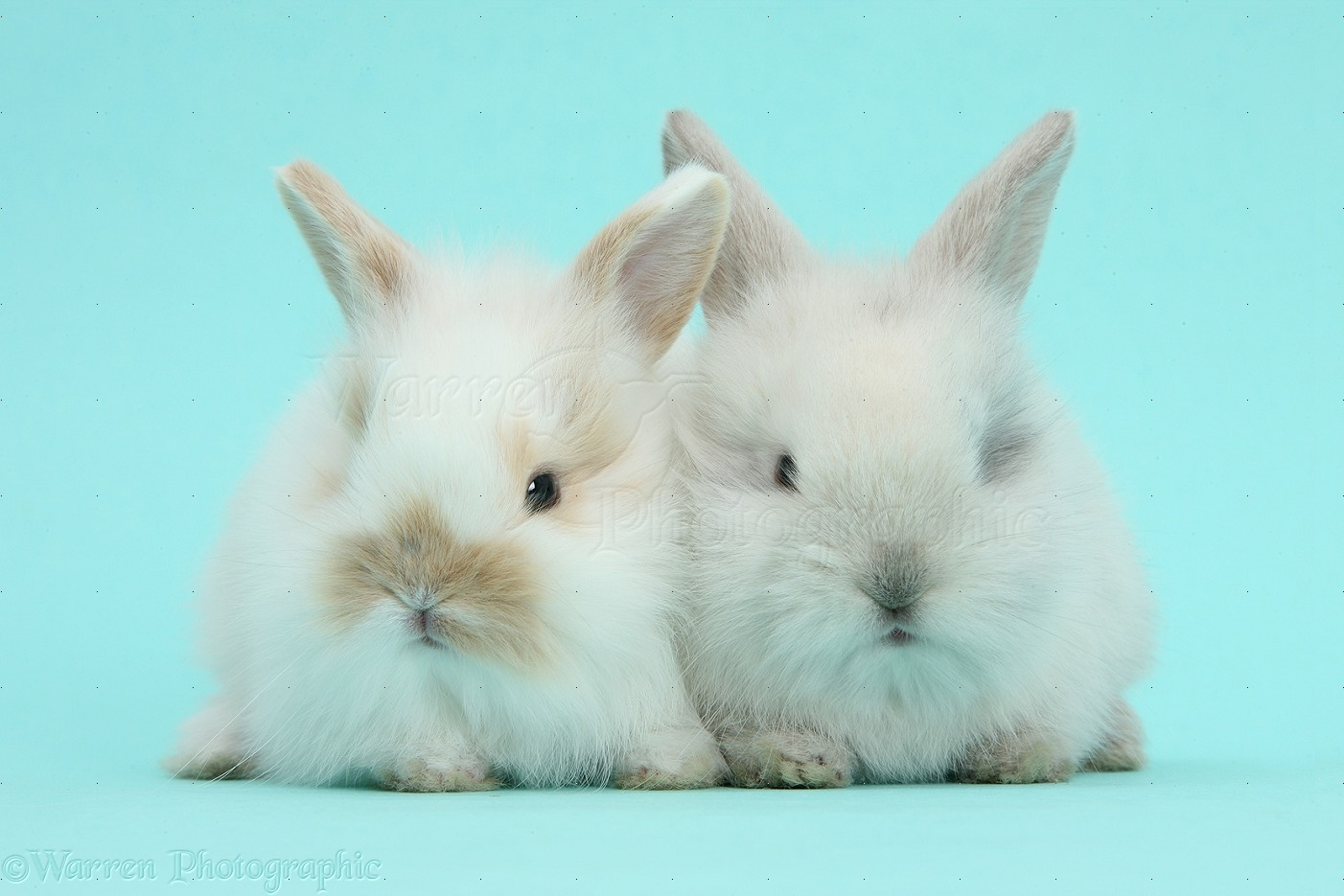 Cute baby bunnies on blue background photo WP40458 - photo#5