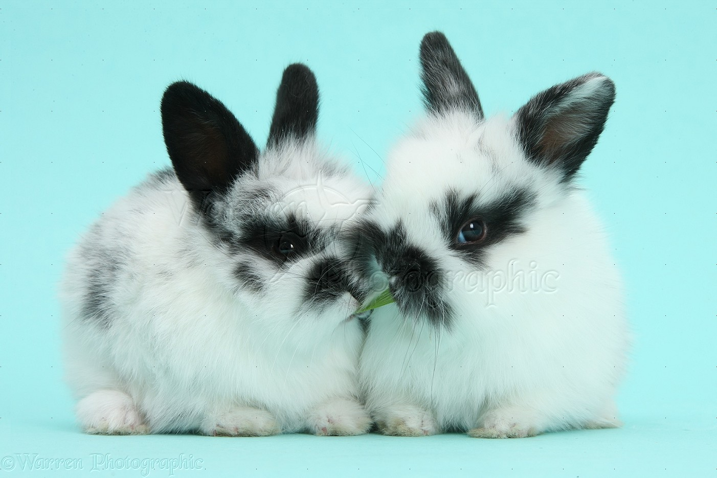 Cute black-and-white baby bunnies on blue background photo ... - photo#32