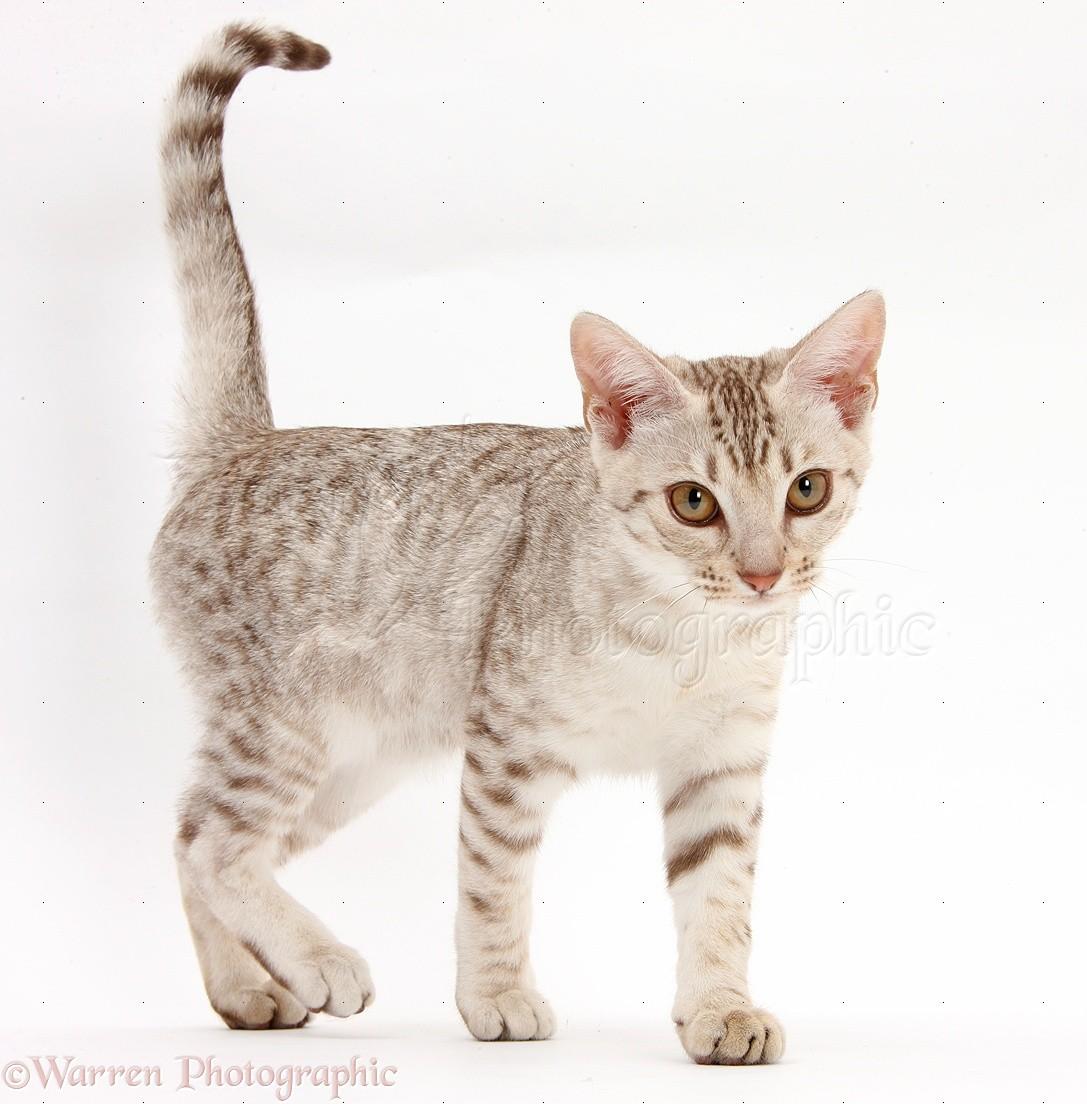 ocicat kitten walking photo wp40493