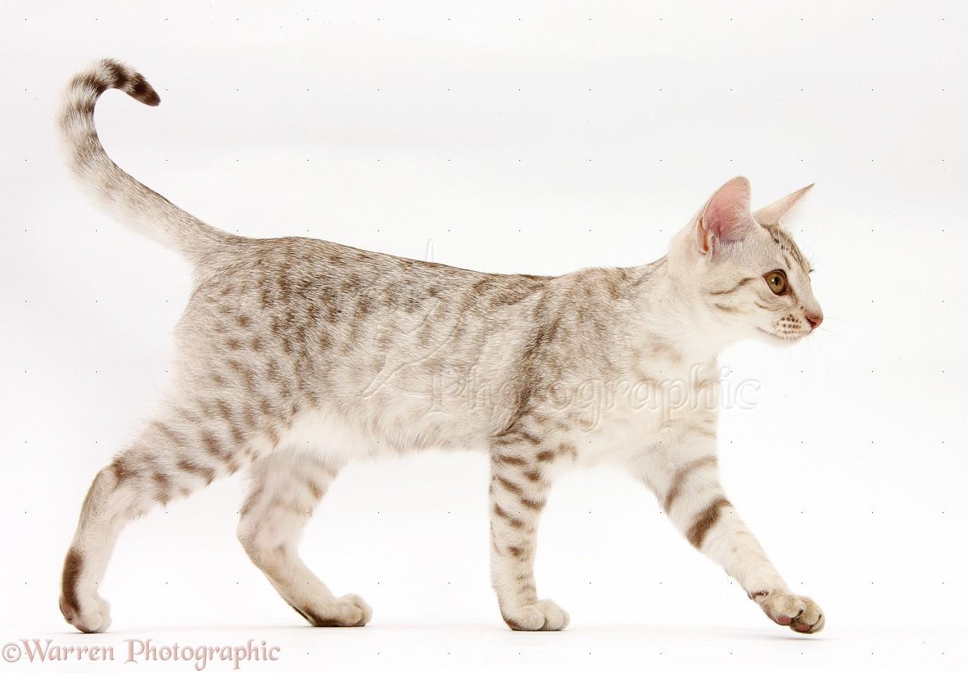 ocicat kitten walking across photo wp40501