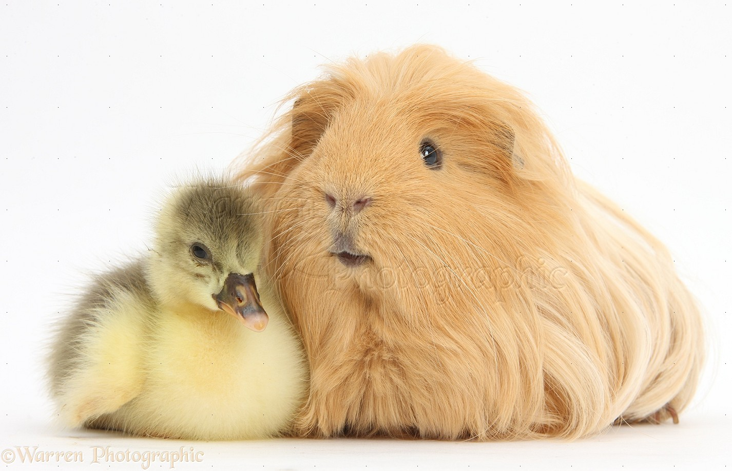 Not know. hairy guinea pig photo