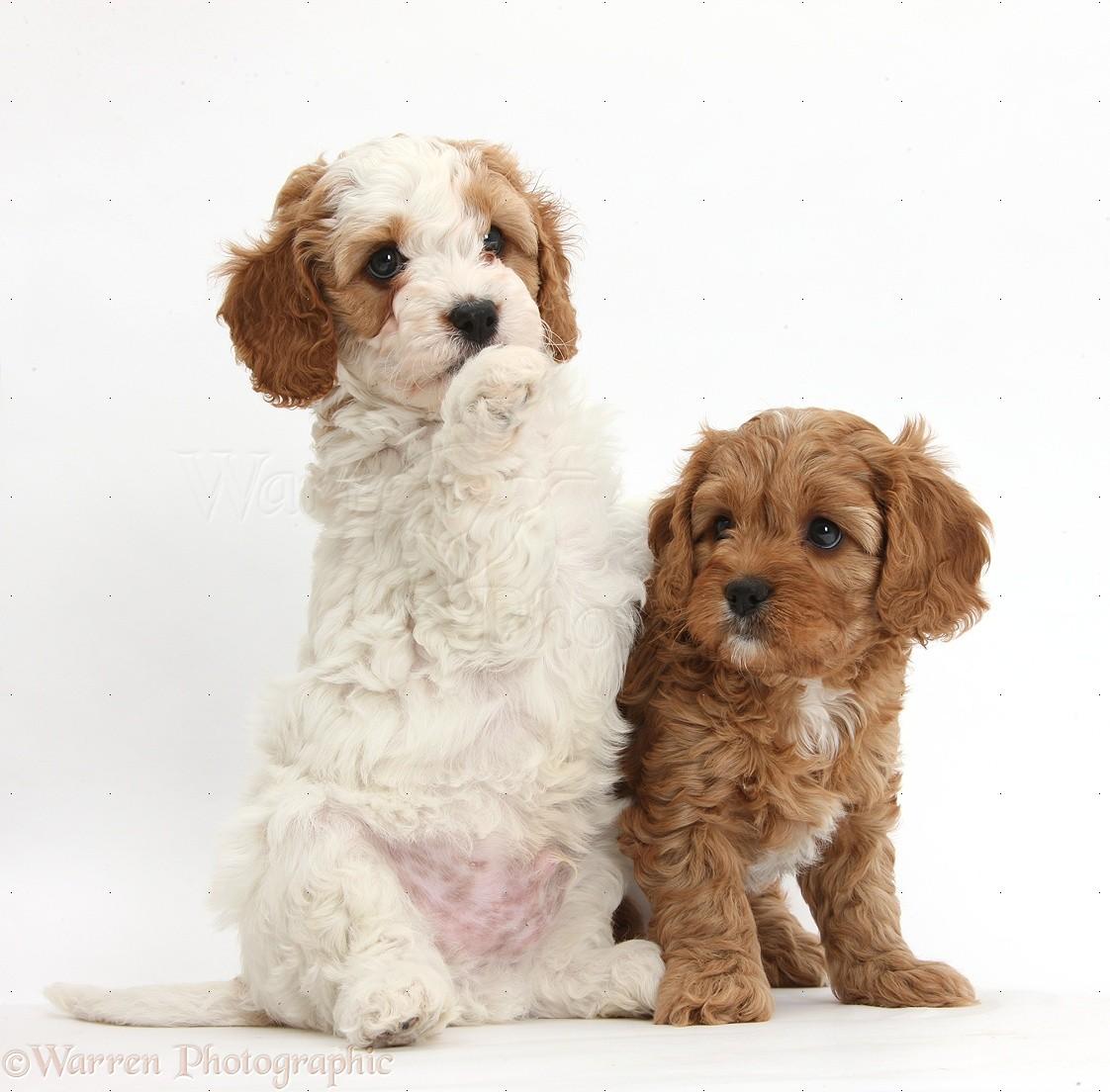 Dogs Cute Cavapoo Puppies Photo Wp40572