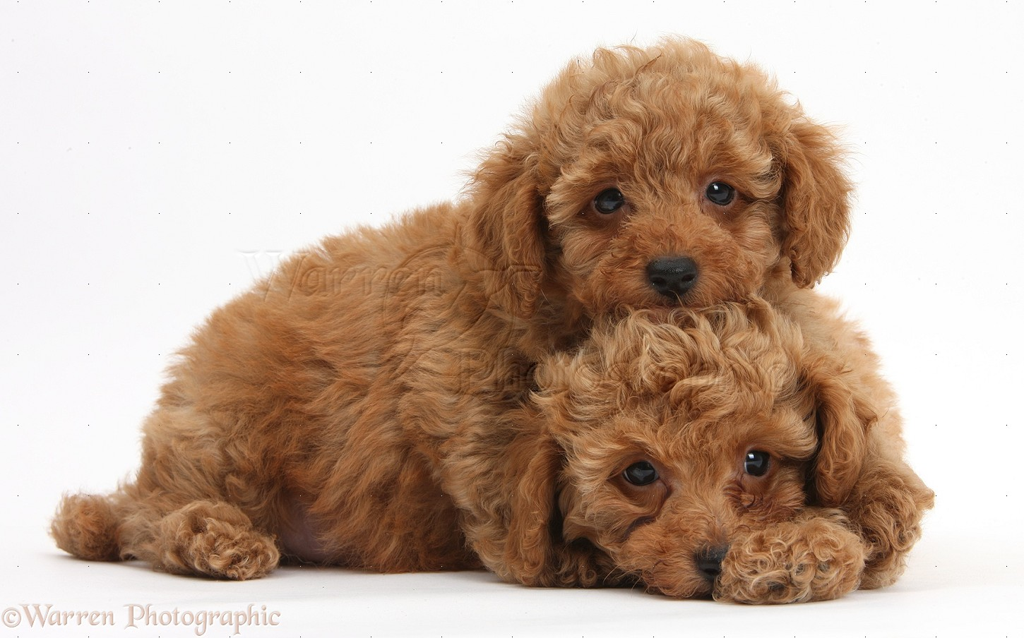 dogs two cute red toy poodle puppies photo   wp40607