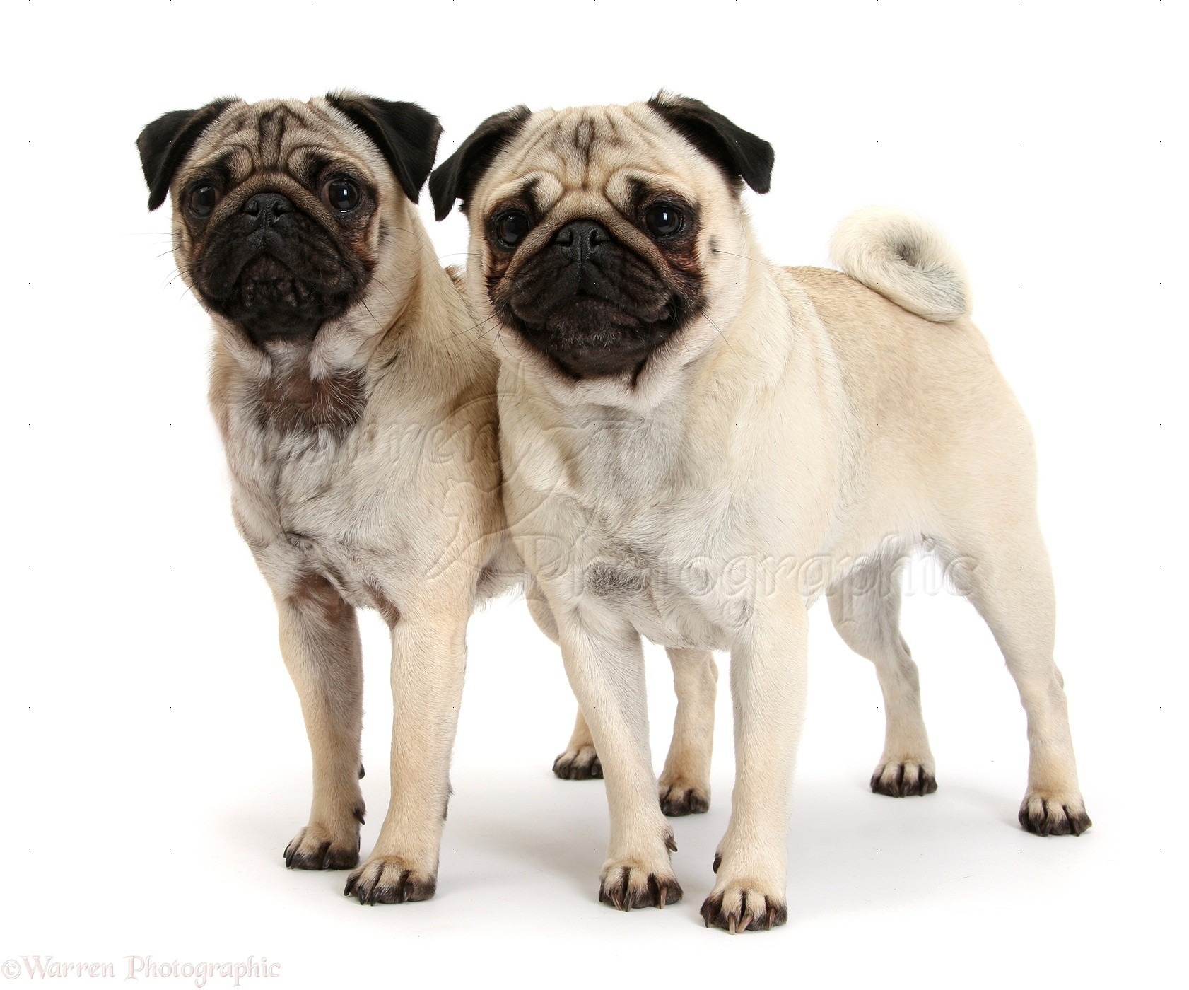 Dogs Two Fawn Pugs Standing Together Photo Wp40610