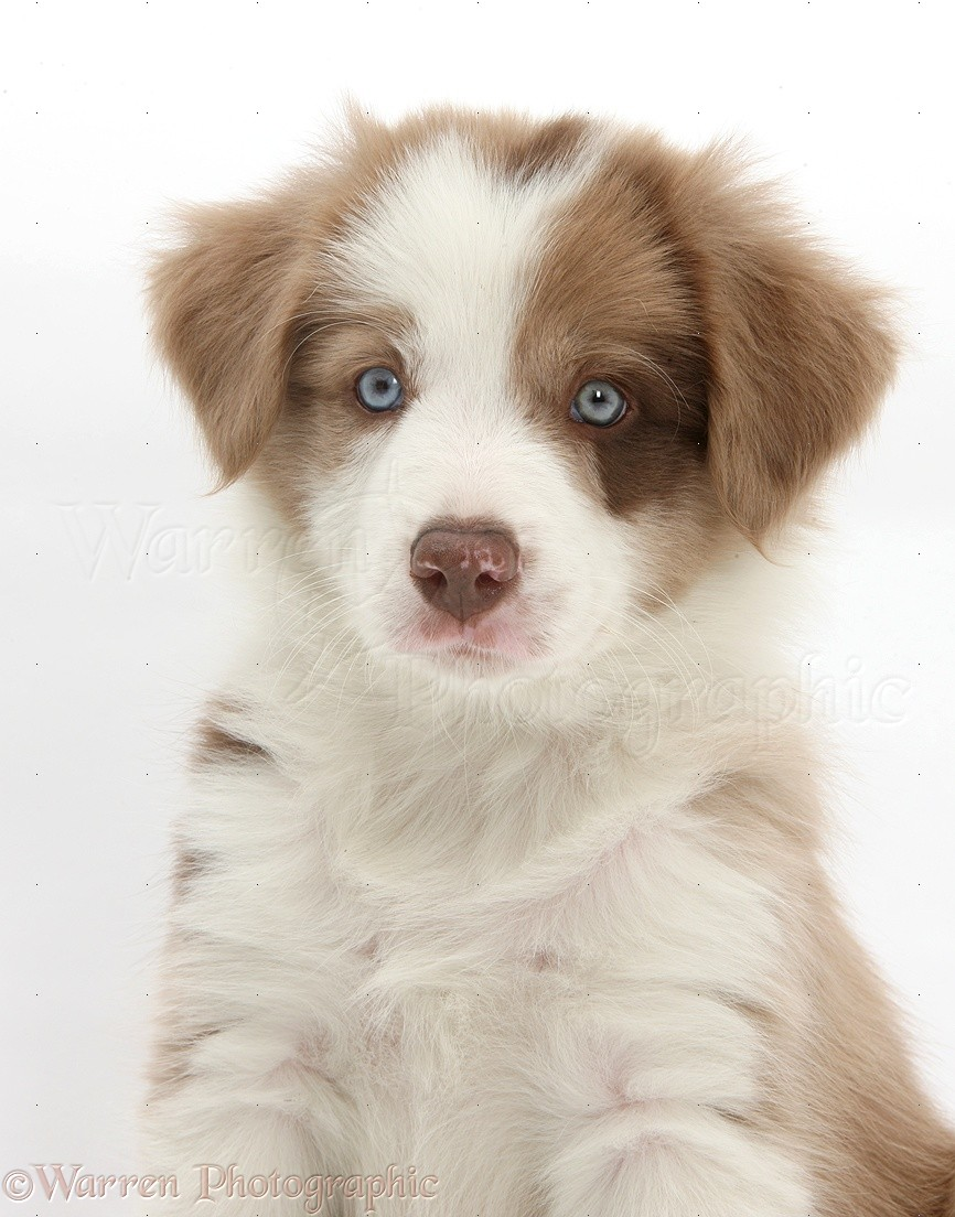 Dog Border Collie Puppy