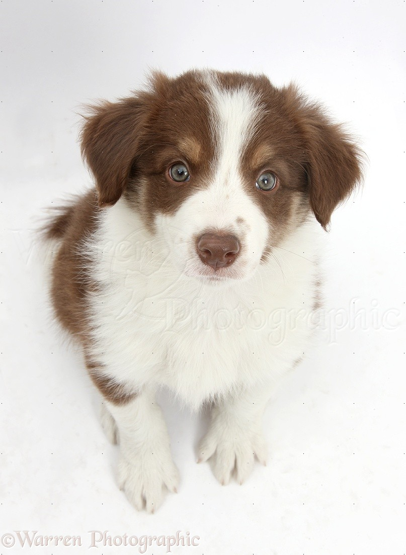 Dog Cute Chocolate Border Collie Puppy 7 Weeks Old Photo Wp40773