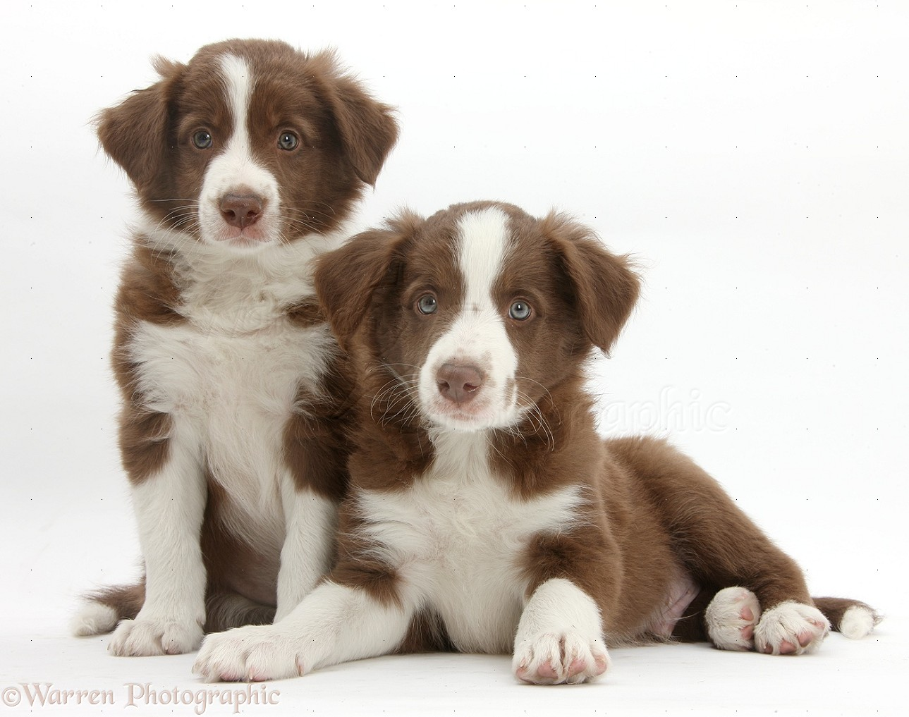 Dogs  Two cute chocola...