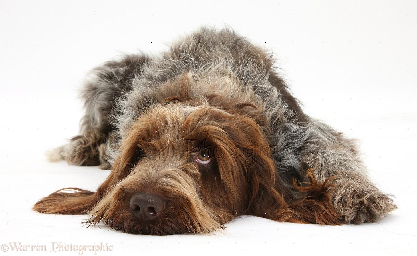 brown roan italian spinone dog photo   wp40837
