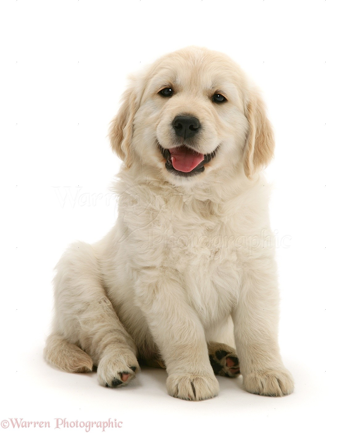 Dog: Smiley Golden Retriever puppy photo WP40845