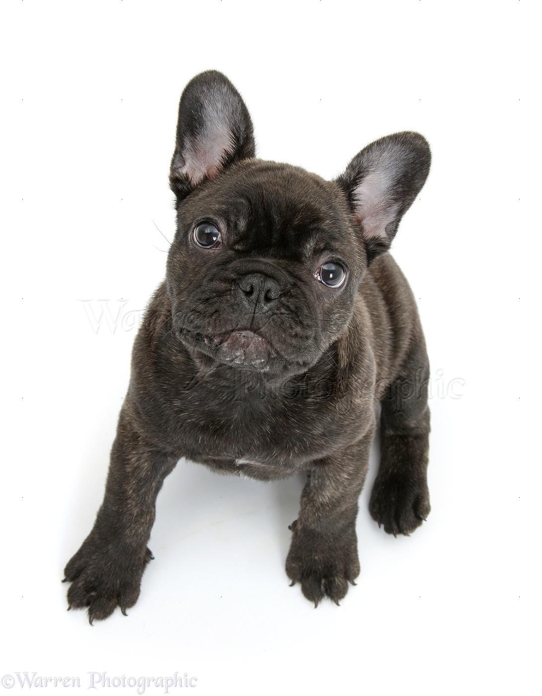 Dark Brindle French Bulldog Pup Photo Wp40865