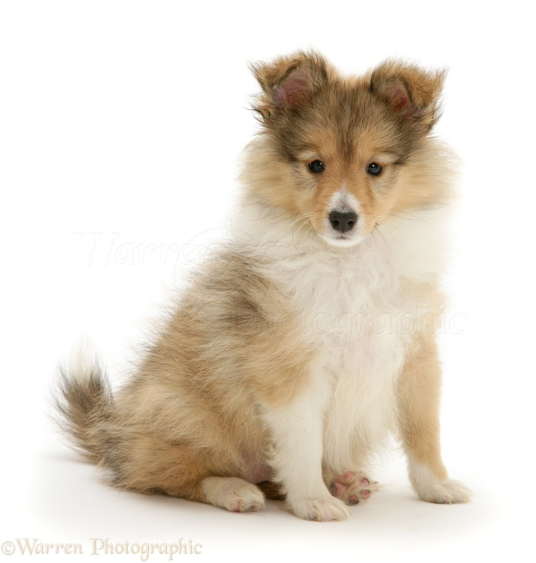Sable Shetland Sheepdog Sheltie Puppy Photo Wp40916