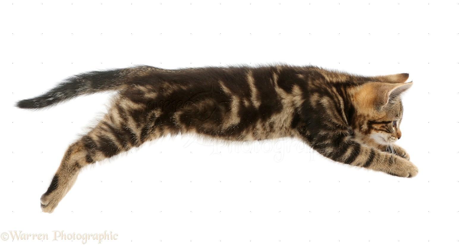 american snowshoe cats