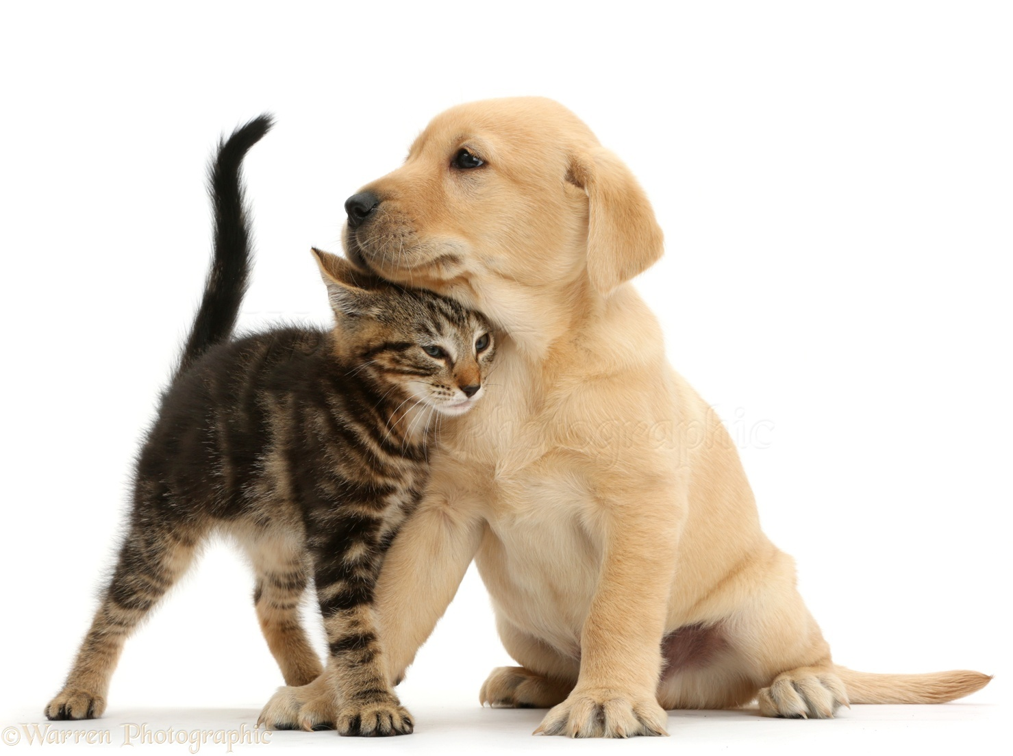 ... in a friendly manner against cute Yellow Labrador puppy, 8 weeks old