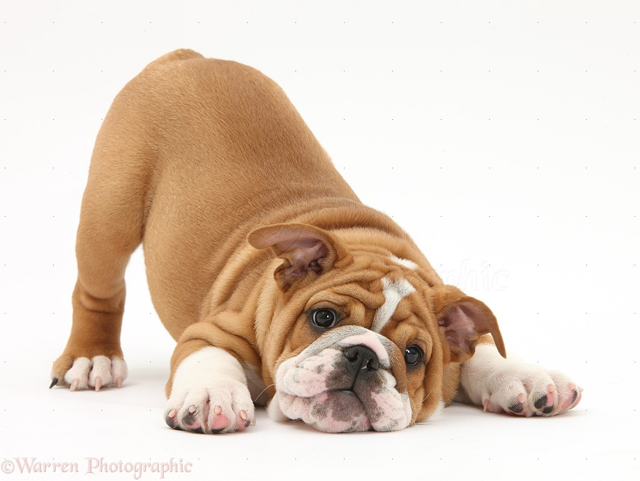 How Old Are Dog Breeds