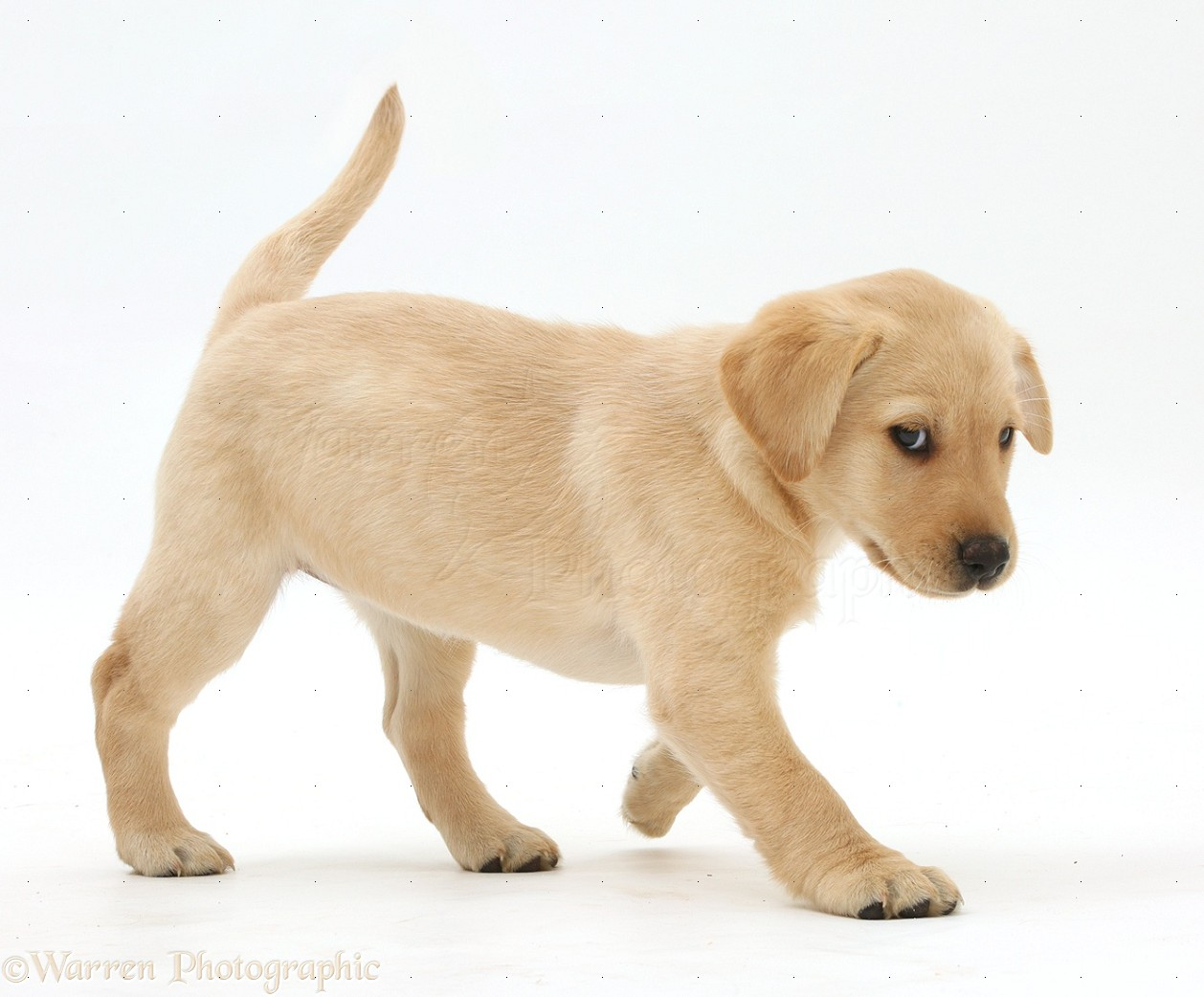 Dog: Cute Yellow Labrador puppy walking photo WP41102 for Cute Yellow Lab Puppy Names  585hul
