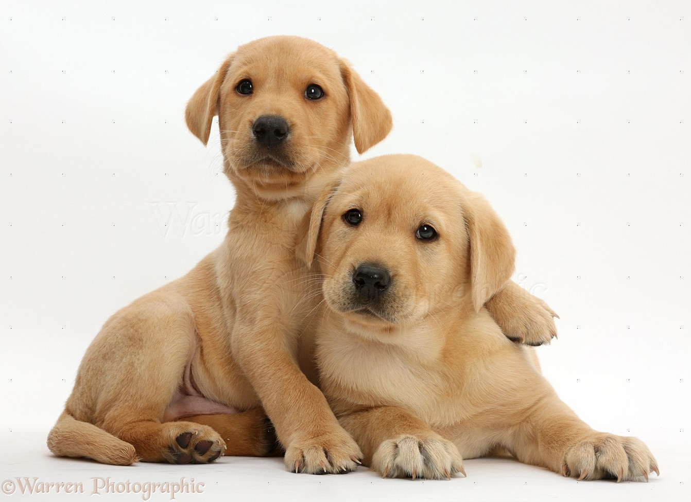 Dogs: Cute Yellow Labrador puppies lounging together photo ...