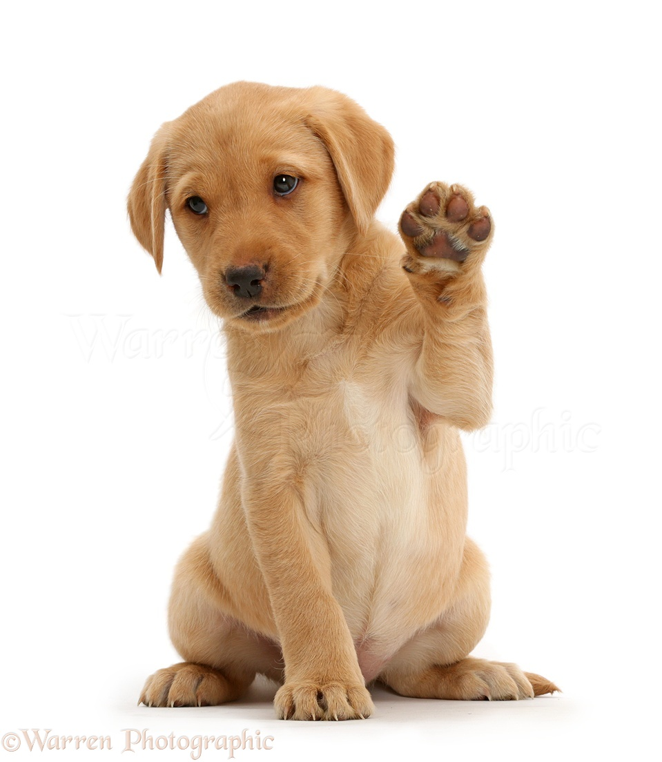 Dog: Cute Yellow Labrador puppy waving photo WP41131