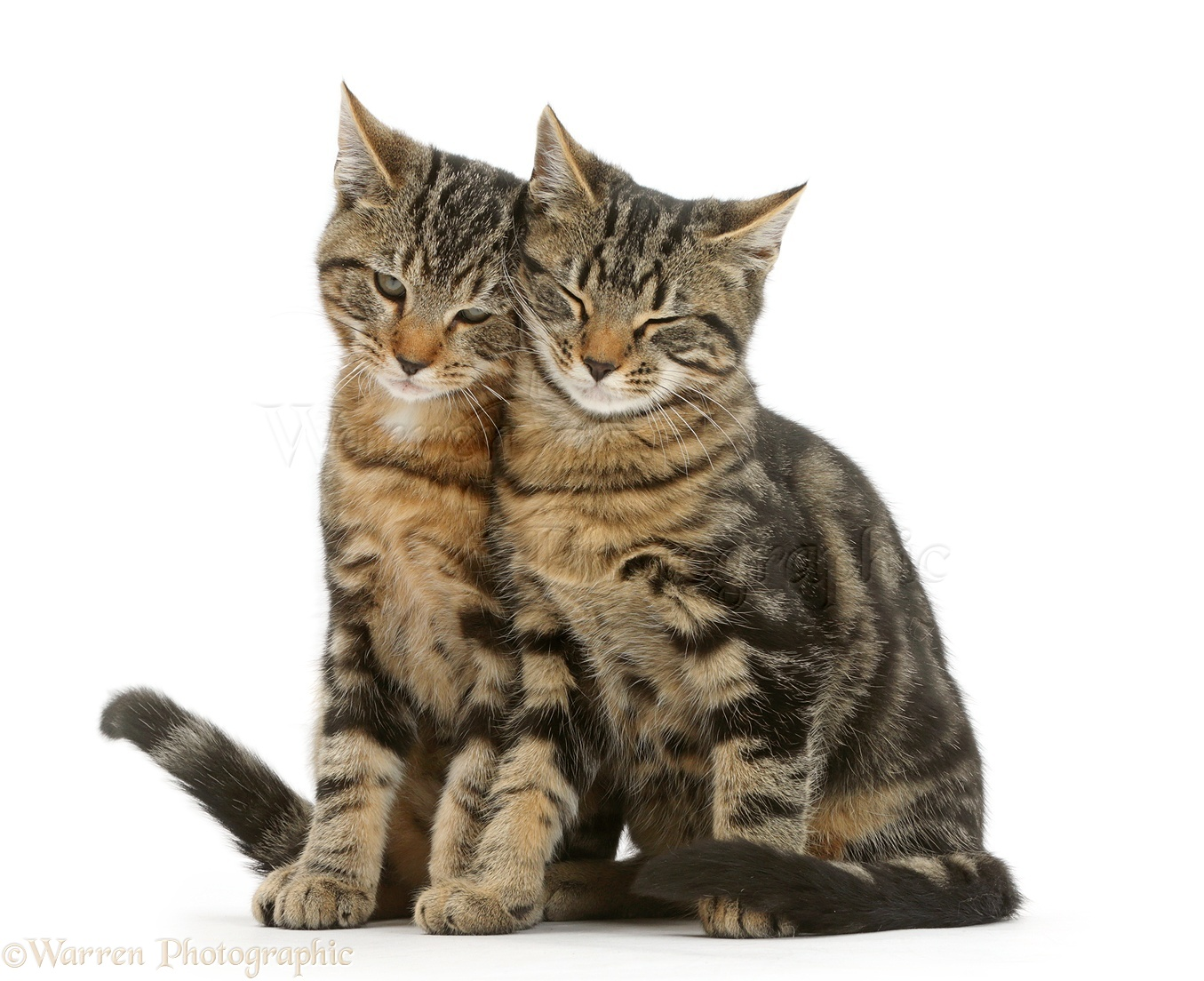 Tabby cats sitting together and rubbing photo WP41260