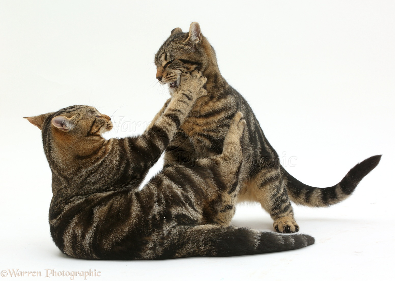 Tabby And White Cat With Each Other