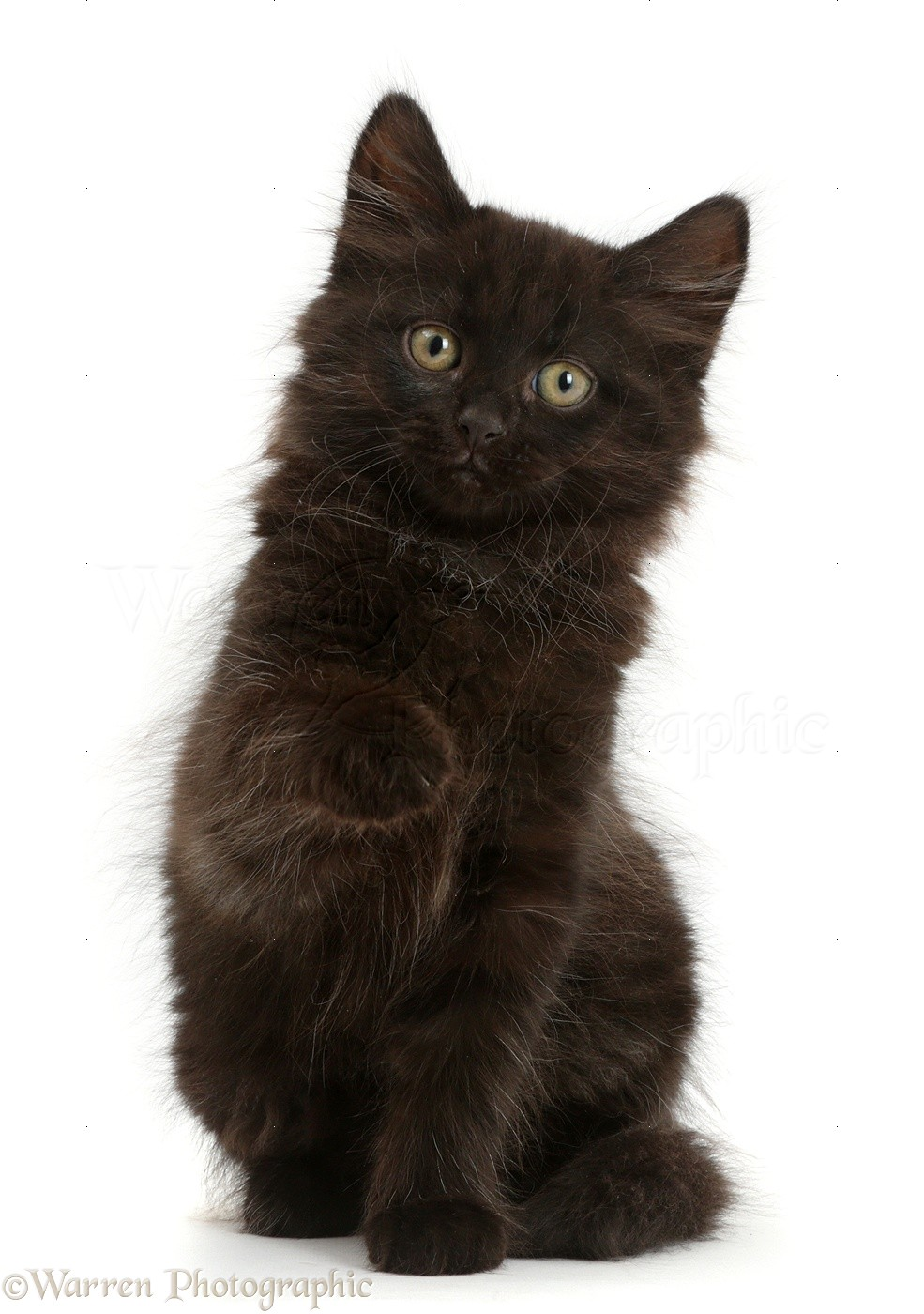 Fluffy Black Kitten 10 Weeks Old Photo Wp41407