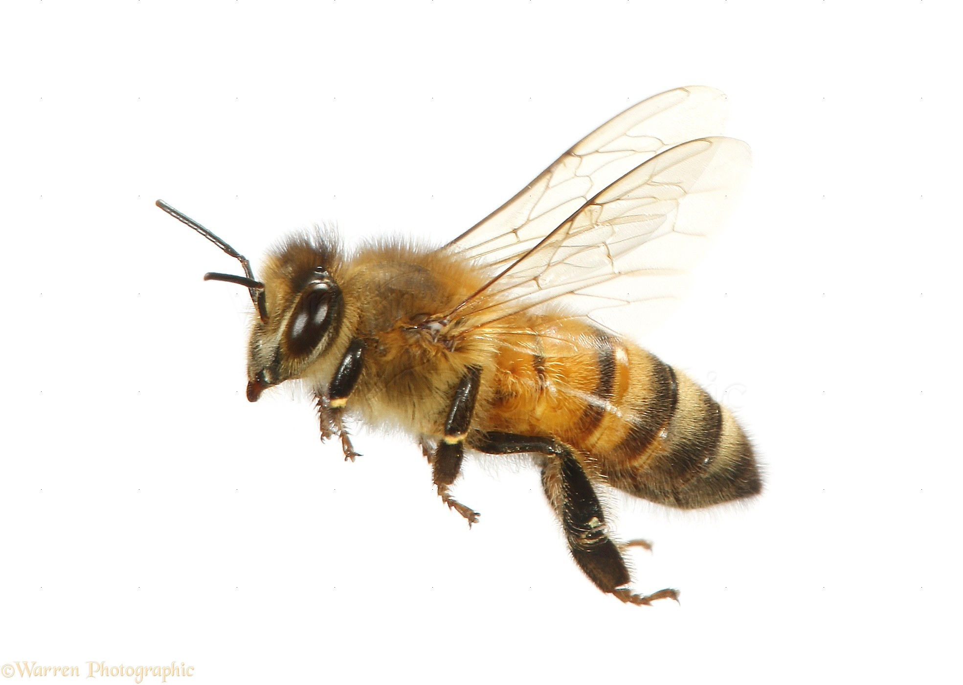 uk drone with 41479 Honey Bee In Flight on The Drone Create Perfect 3D Map Town Radically Improve Wifi also Top 10 Airports Number Crunch besides Westminster Abbey Google Street View likewise Watch together with 41479 Honey Bee In Flight.
