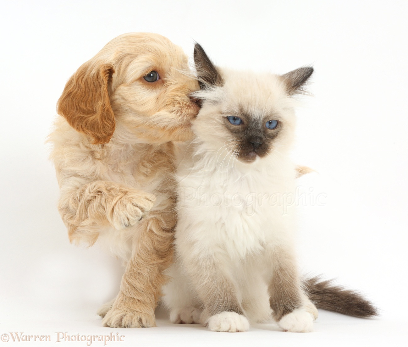 pets ragdoll kitten and cockapoo puppy photo   wp41531