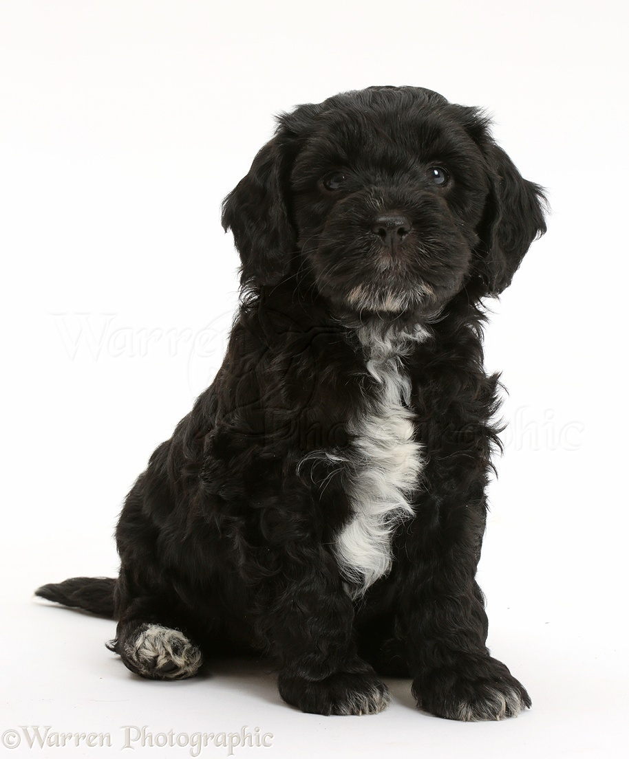 Dog Black Cockapoo Puppy Photo Wp41550