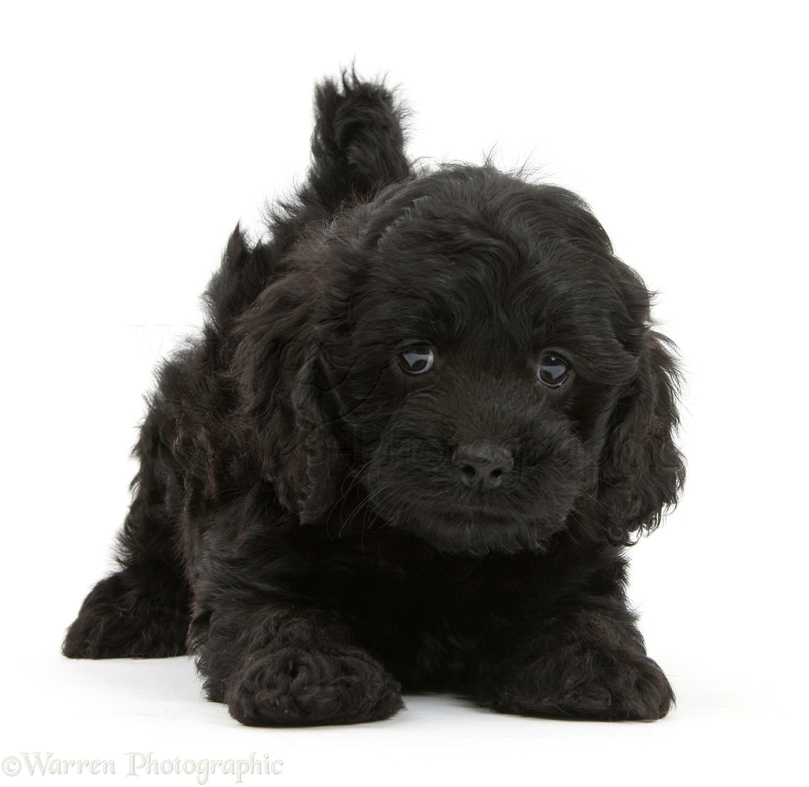 Dog Playful Black Cockapoo Pup 6 Weeks Old Photo Wp41566
