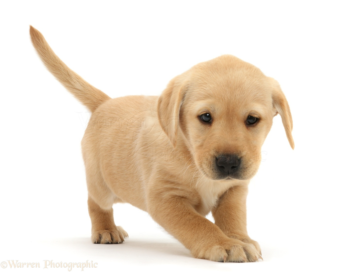 Labrador Dog White Puppy