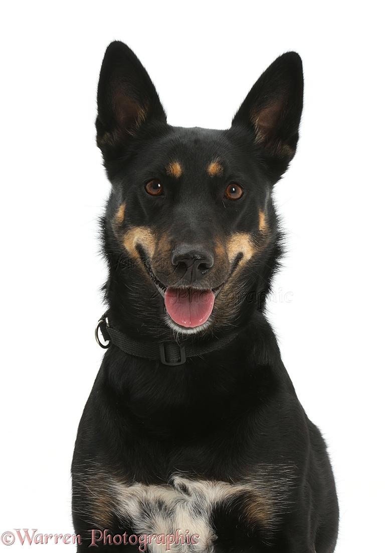Dog: Kelpie x Shepherd bitch, 3 years old photo - WP41576
