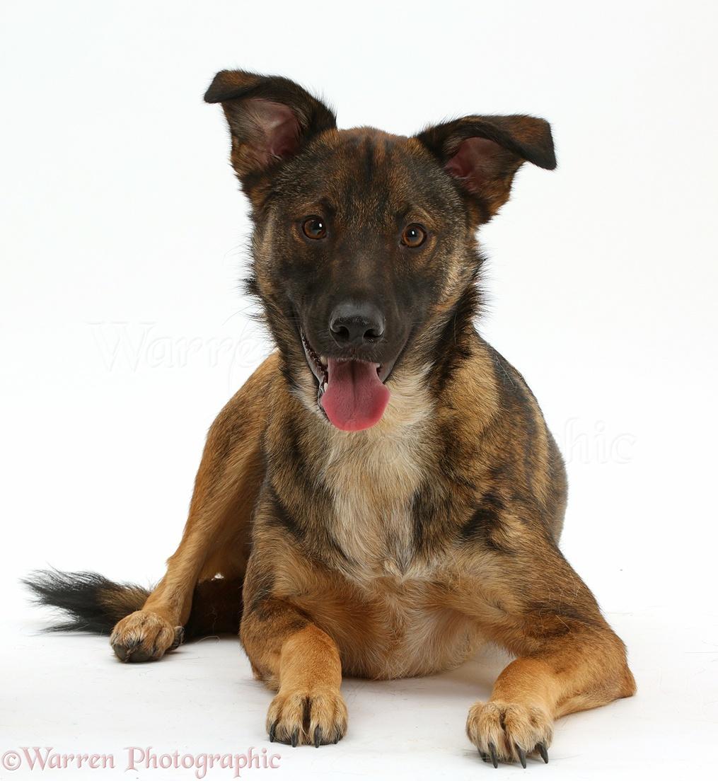 Collie x Shepherd dog, 1 year old photo - WP41583