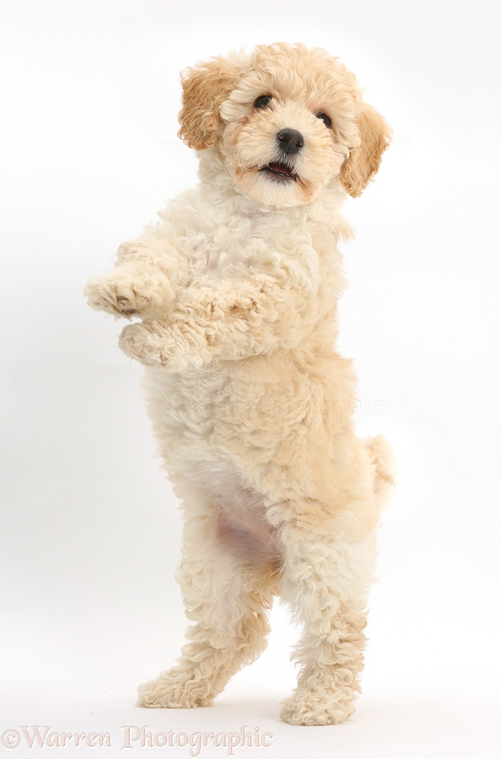 dog cute playful poochon puppy 6 weeks old photo   wp41603