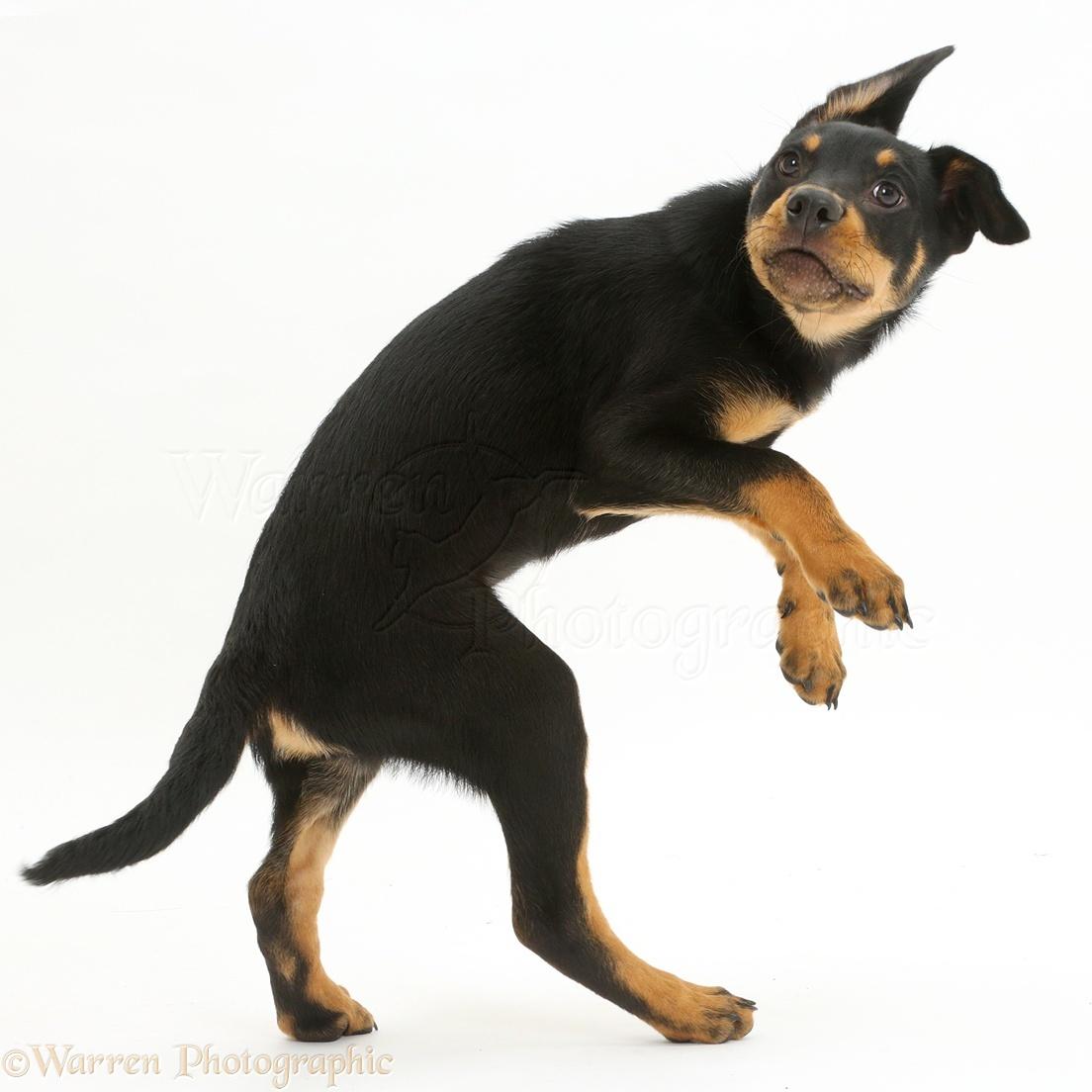 Kelpie Dog Puppies