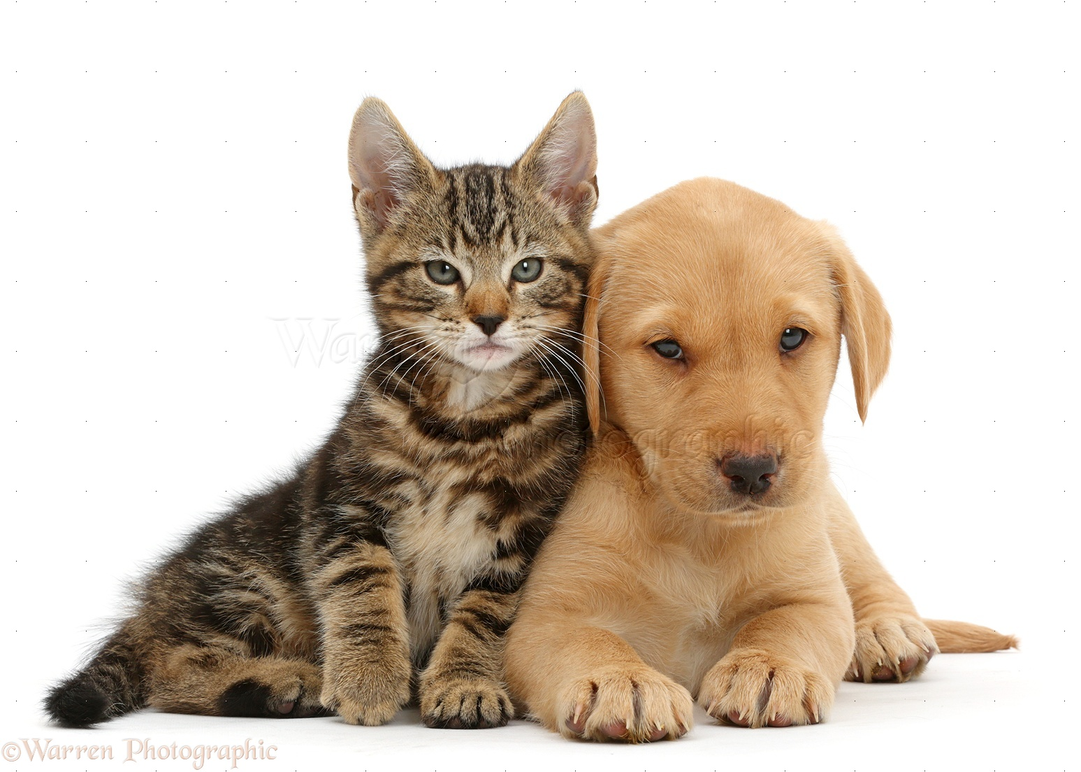 Pets: Tabby kitten with cute Yellow Labrador puppy photo ...