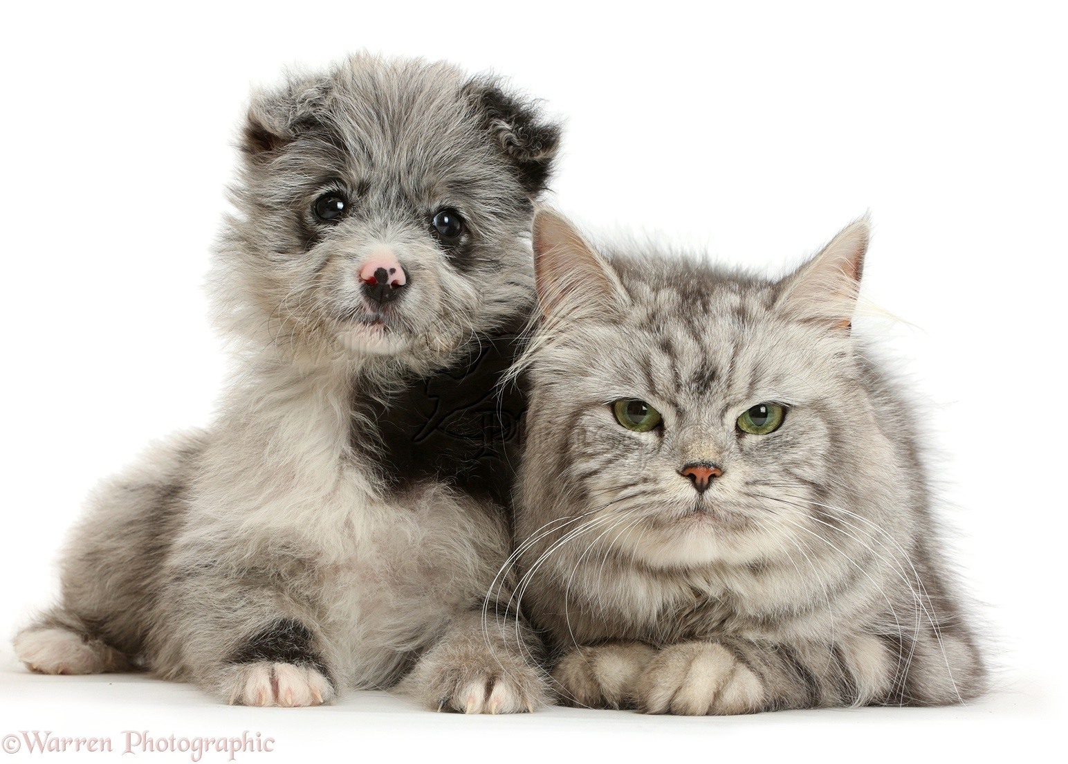 Pets ChiPoo puppy and Persian cross cat photo WP